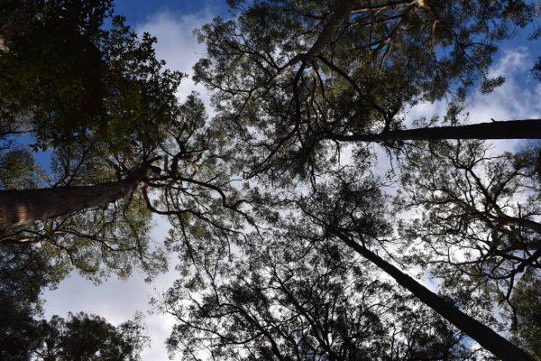arbre caoutchouc hevea